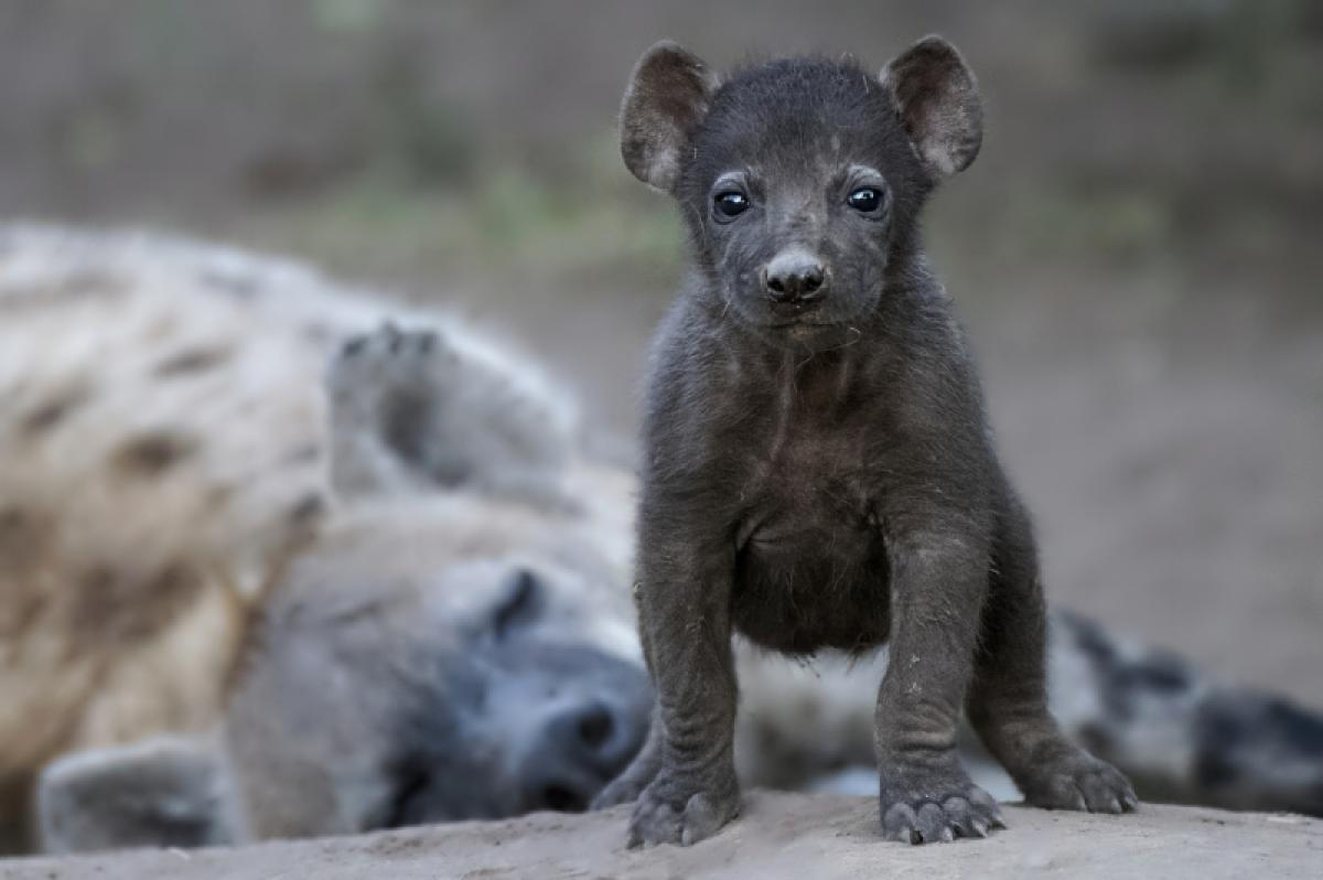 28/02/2019 - Johan J Botha - Hyena With Pup
