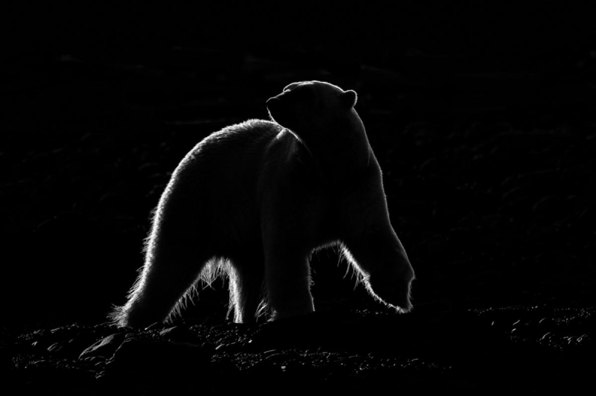 05/03/2019 - Dmitry Arkhipov - Polar Bear In Backlight