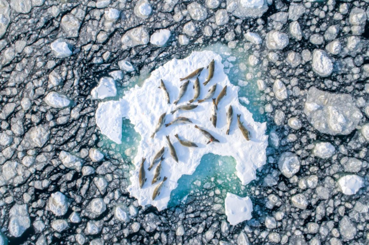 03/05/2019 - Florian Ledoux - Crabeater Seals