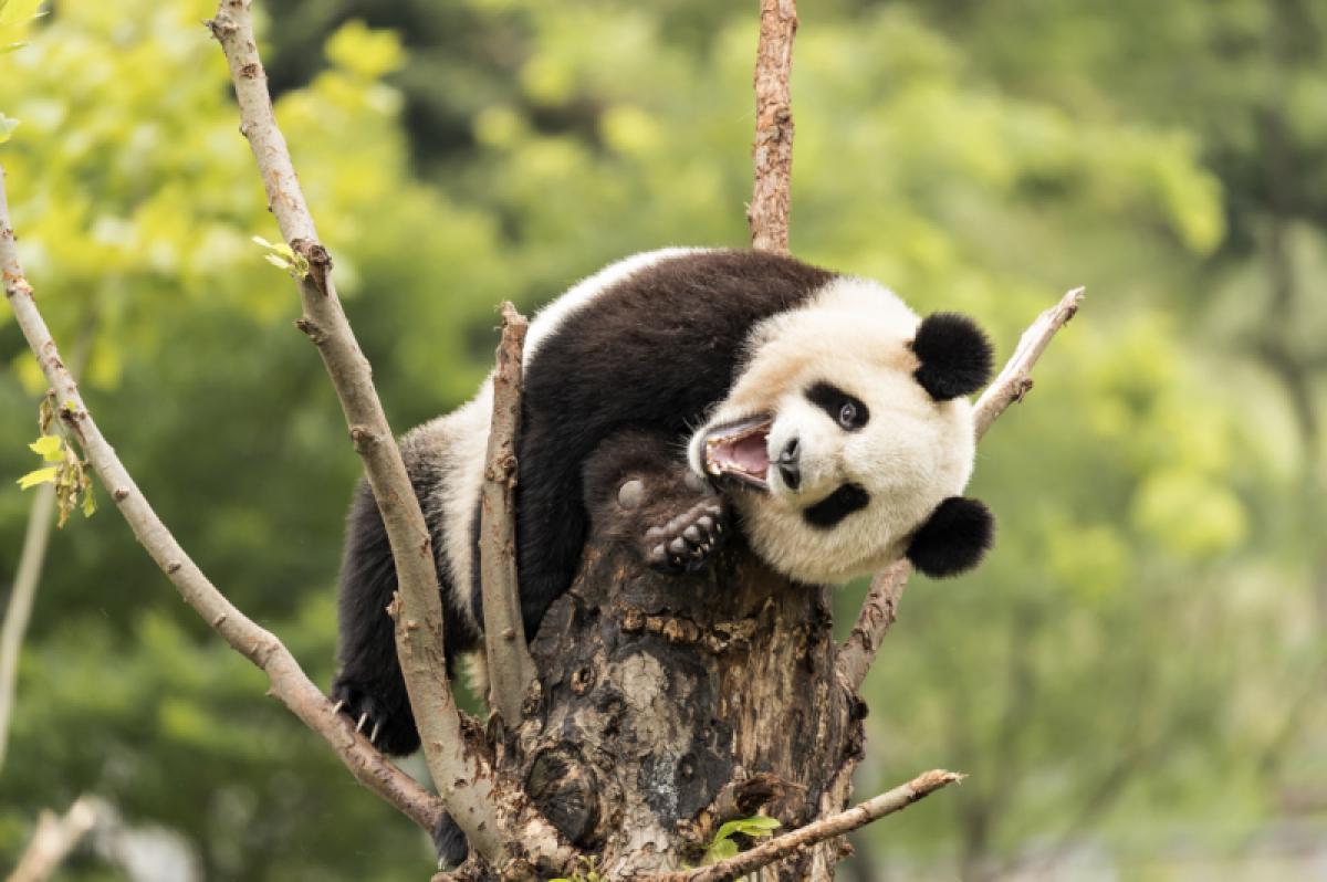05/01/2020 - Dafna Ben Nun - The Laughing Panda