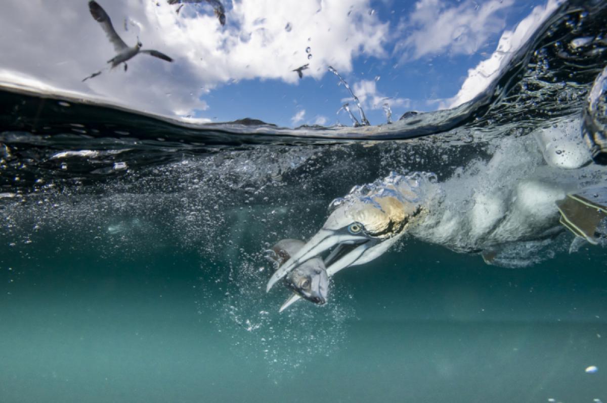 17/03/2020 - Thomas Rajan - Fishing Gannett
