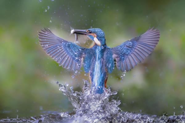 Emanuele Caleffi - The King Of The Fishermen Birds - Kingfisher